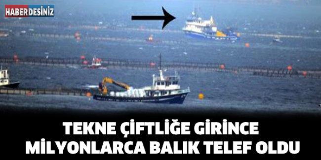 Tekne çiftliğe girince milyonlarca balık telef oldu