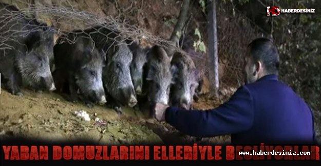 Yaban domuzlarını elleriyle besliyorlar..!