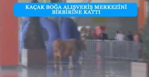 Kaçak boğa alışveriş merkezini birbirine kattı