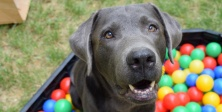 İnanılmaz keşif: Köpeklerin yüz kasları evrimleşti, Peki neden?